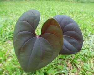 MY EXOTIC SECRETS DIOSCOREA ALATA DARK NIGHT ST VINCENT PURPLE YAM LEAVES