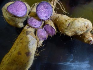 MY EXOTIC SECRETS DIOSCOREA ALATA DARK NIGHT ST VINCENT PURPLE YAM ROOT